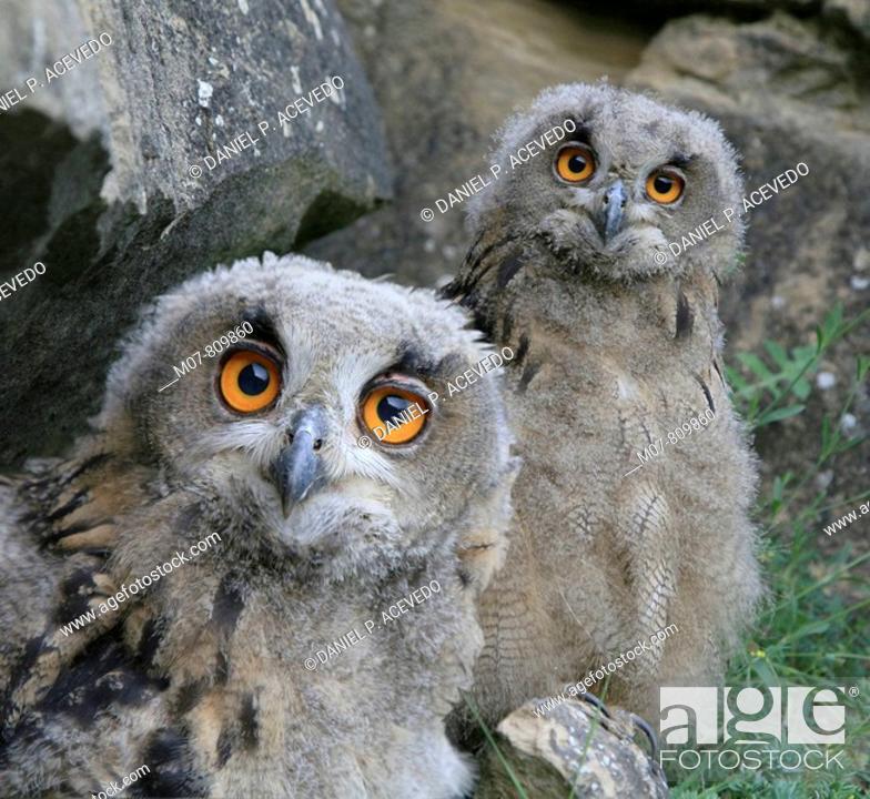 Stock Photo: Eagle owls (bubo bubo).