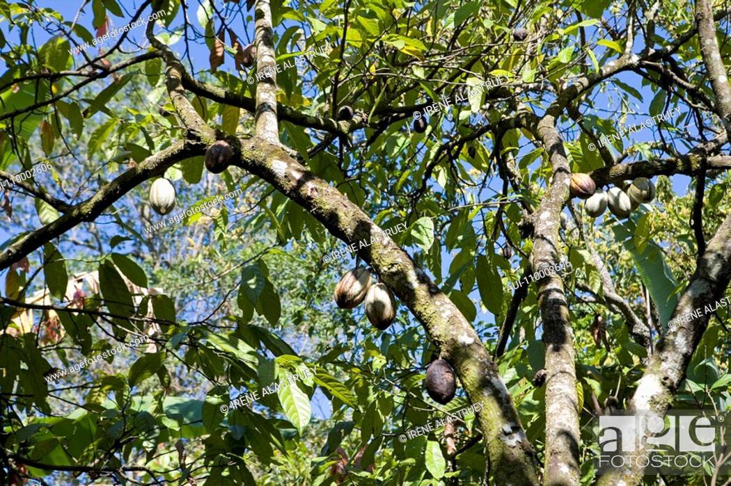 Stock Photo: Dominican Republic - Centre - The Cibao - Moka - Cocoa.