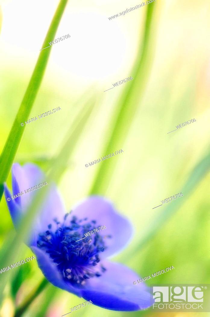 Stock Photo: Blue Anemone Poppy Flower. Anemone coronaria. April 2007, Maryland, USA.