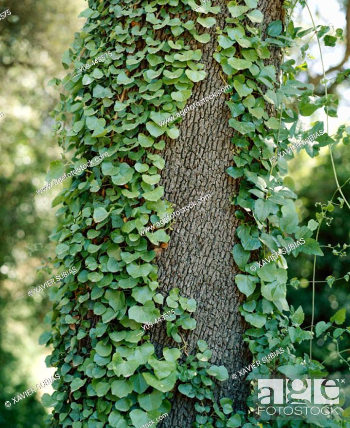Stock Photo: Ivy.