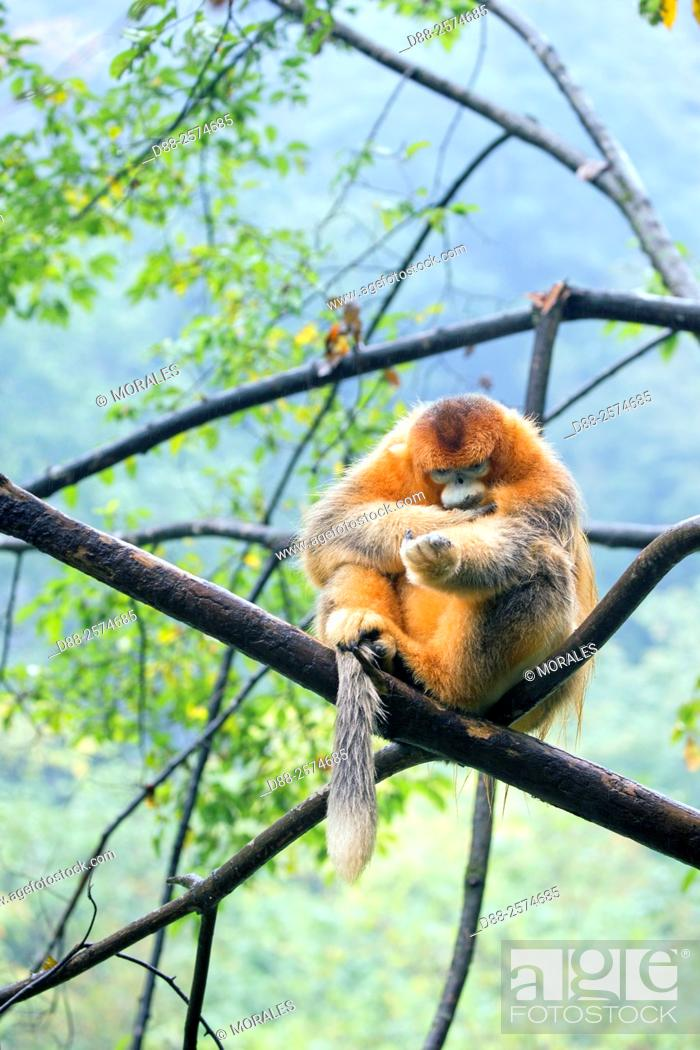 Stock Photo: Asia, China, Shaanxi province, Qinling Mountains, Golden Snub-nosed Monkey Rhinopithecus roxellana, adult male on tree.