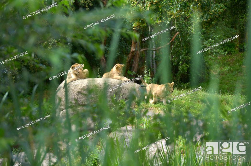 Stock Photo: 05 July 2021, Saxony, Leipzig: The four lion cubs Jasira, Juma, Kossi and Kiyan of mother lion Kigali and male lion Majo sit in the outdoor area at Leipzig Zoo.