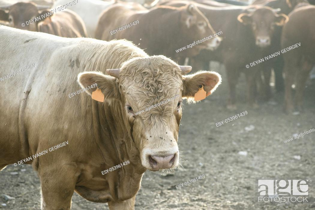 Stock Photo: One bull in farm. Close up.
