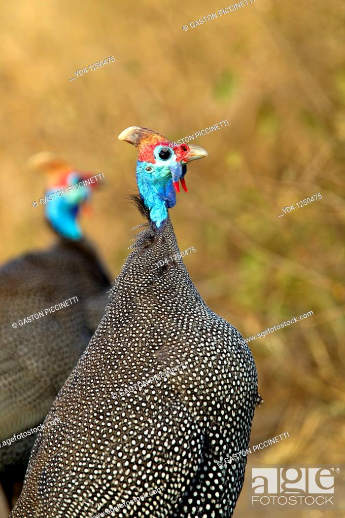 Stock Photo: Helmeted guineafowl Numida meleagris, Kruger National Park, South Africa.