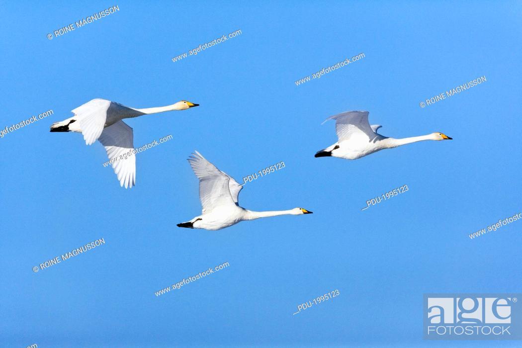 Stock Photo: Migrating Whopper swanes.