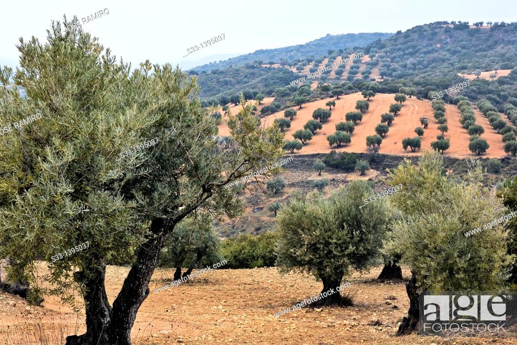 Stock Photo: Olive trees in Tielmes  Madrid Spain.