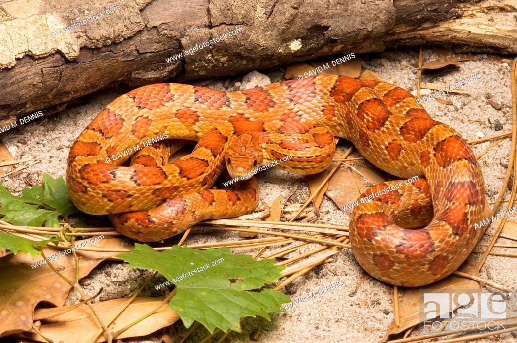 Corn Snake, Elaphe guttata, Sarasota County, FLorida, Stock