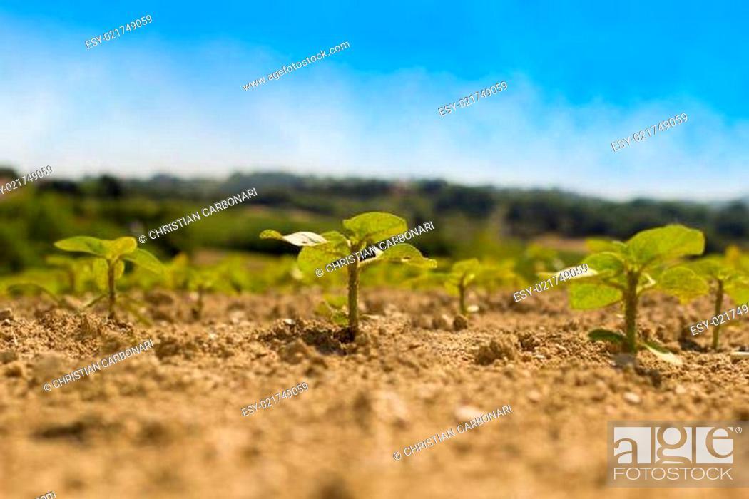 Stock Photo: Three plants of sunflower.