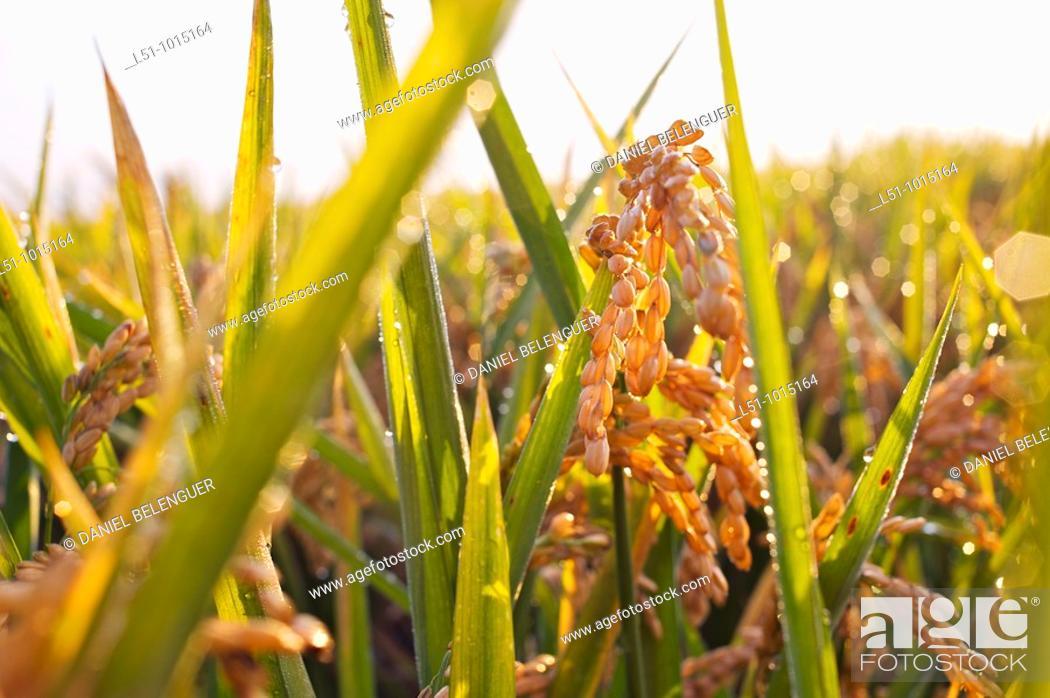 Stock Photo: Rice field near Sueca, Valencia, Spain.