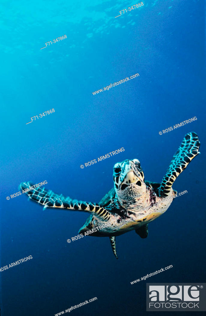 Stock Photo: Hawksbill Turtle (Eretmochelys imbricata). Kimbe Bay, Papua New Guinea.