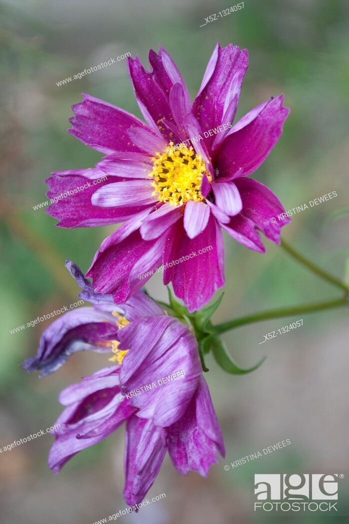 Stock Photo: A new dark purple partially curled and doubled Cosmo bloom.