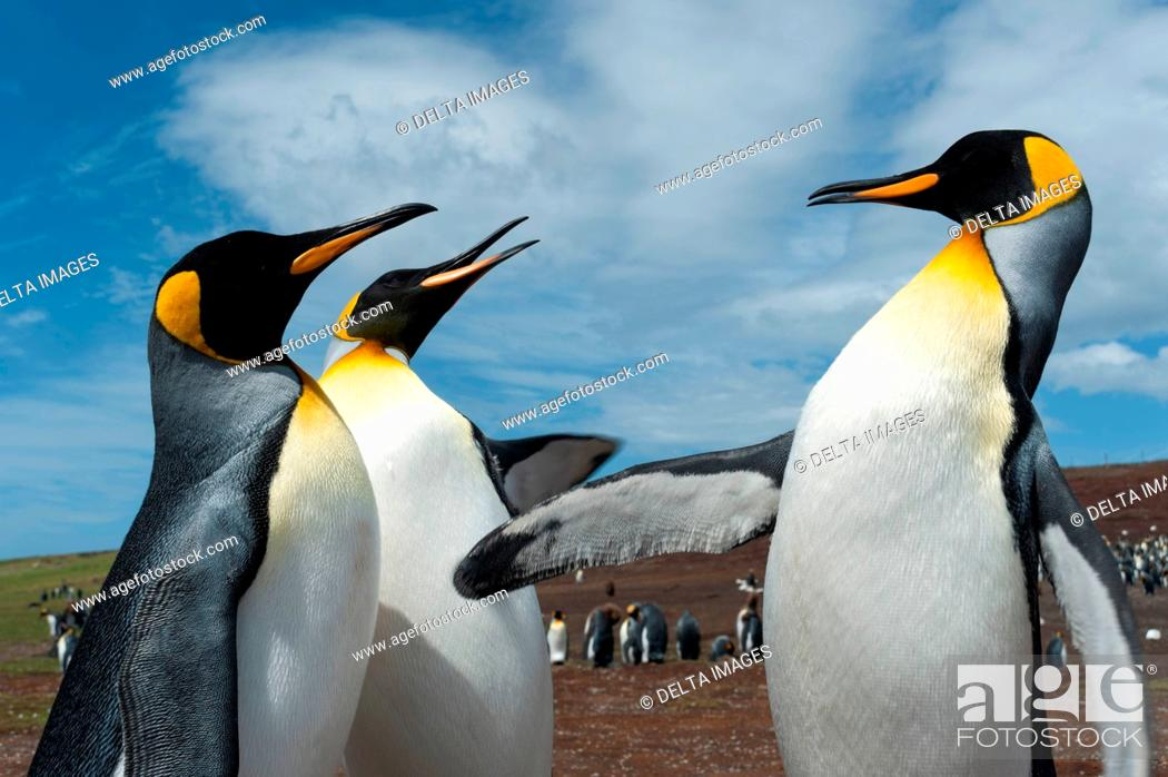 Stock Photo: King penguins (Aptenodytes patagonica), fighting, Port Stanley, Falkland Islands, South America.