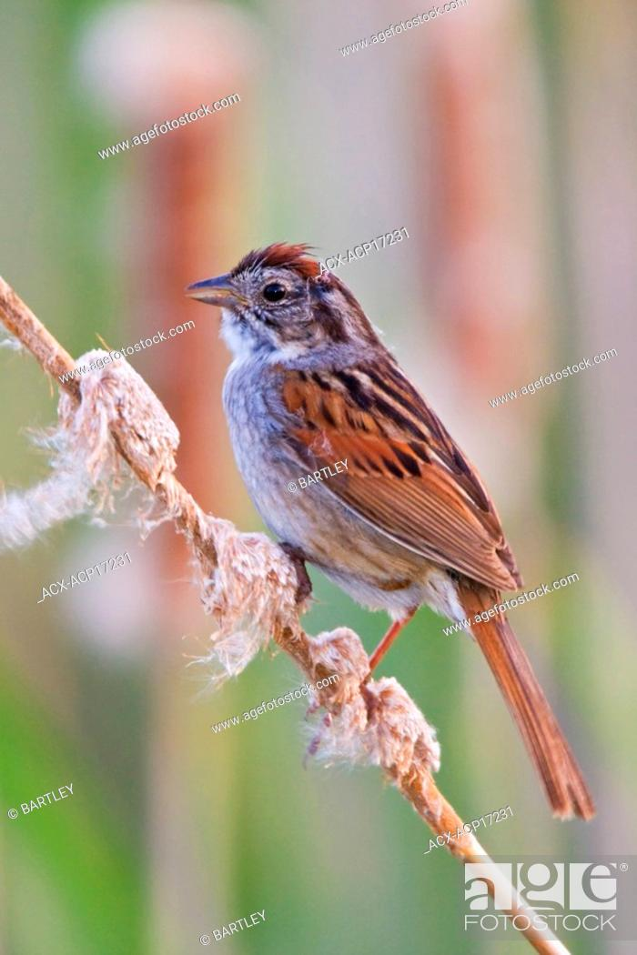 Stock Photo: Swamp sparrow Melospiza georgiana perched on a cattail in a swamp near Long Point, Ontario, Canada.