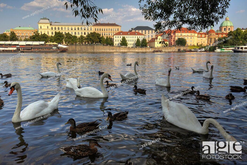 Stock Photo: Swans in the Vltava river in Prague, CZ.