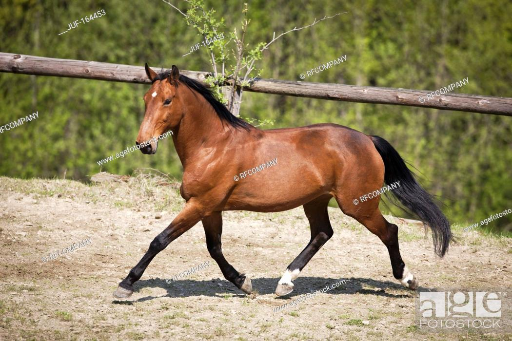 Stock Photo: Przedswit horse - walking.