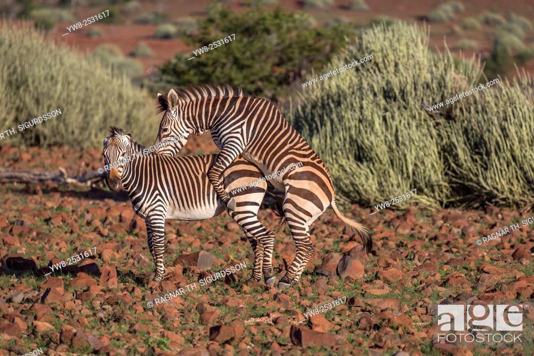 Zebras Mating By Etendeka Mountain Lodge Namibia Africa Stock