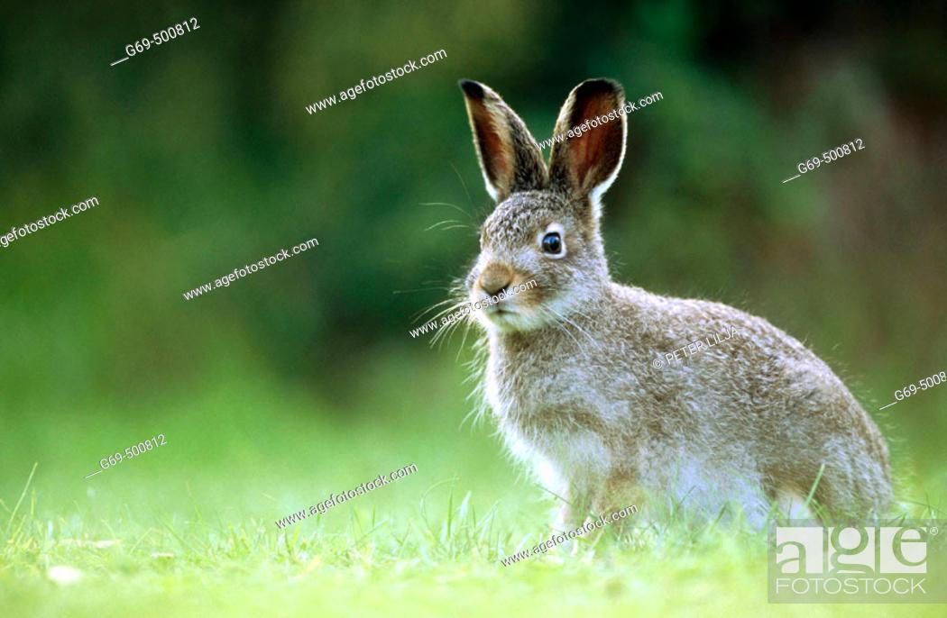 Stock Photo: A young alpin hare (Lepus timidus). Burvik, Vasterbotten. Sweden.
