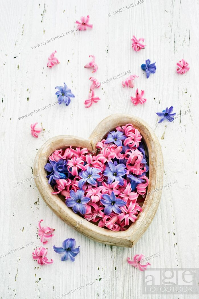 Stock Photo: Heart shaped container filled with Hyacinth florets varietes Pink Pearl and Blue Star.