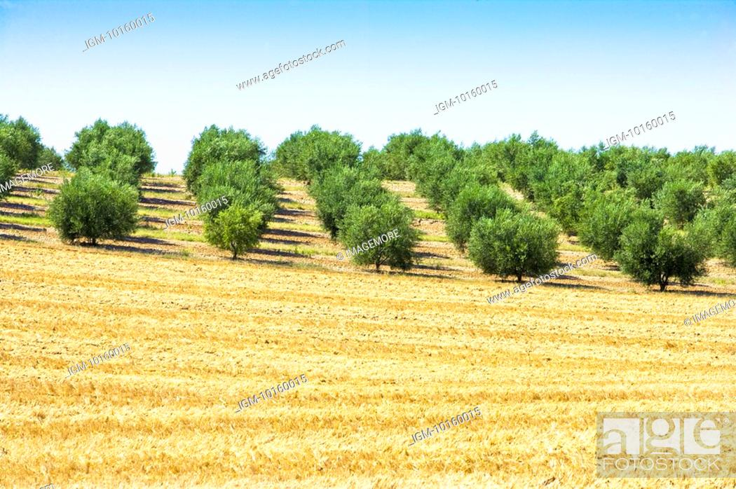 Stock Photo: Olive Tree Field in France.