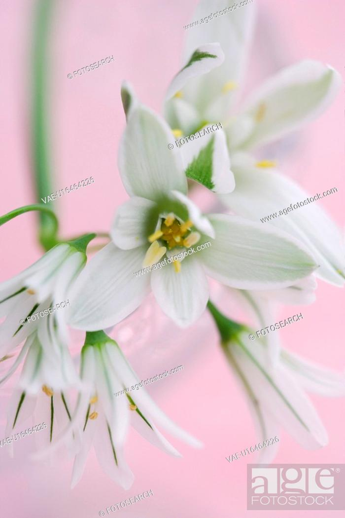 Stock Photo: Ornithogalum.