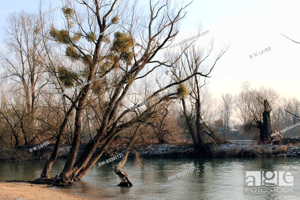 Stock Photo: white poplar, silver-leaved poplar, abele (Populus alba), winterly floodplain at the Rhine, Germany.