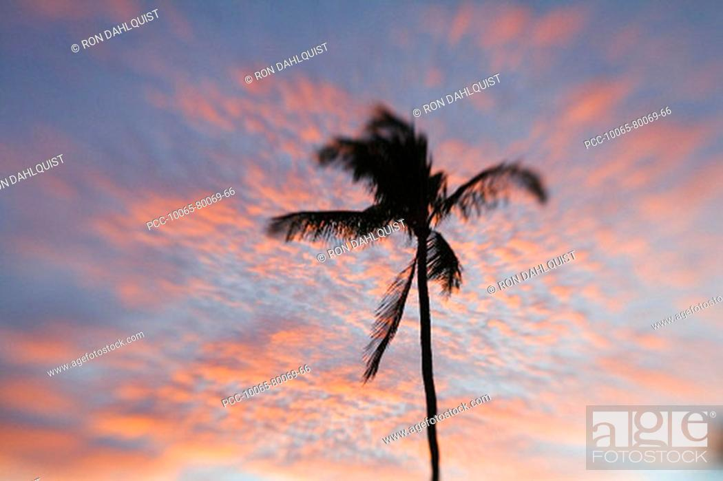 Stock Photo: Hawaii, Palm tree with pink clouds at sunset.