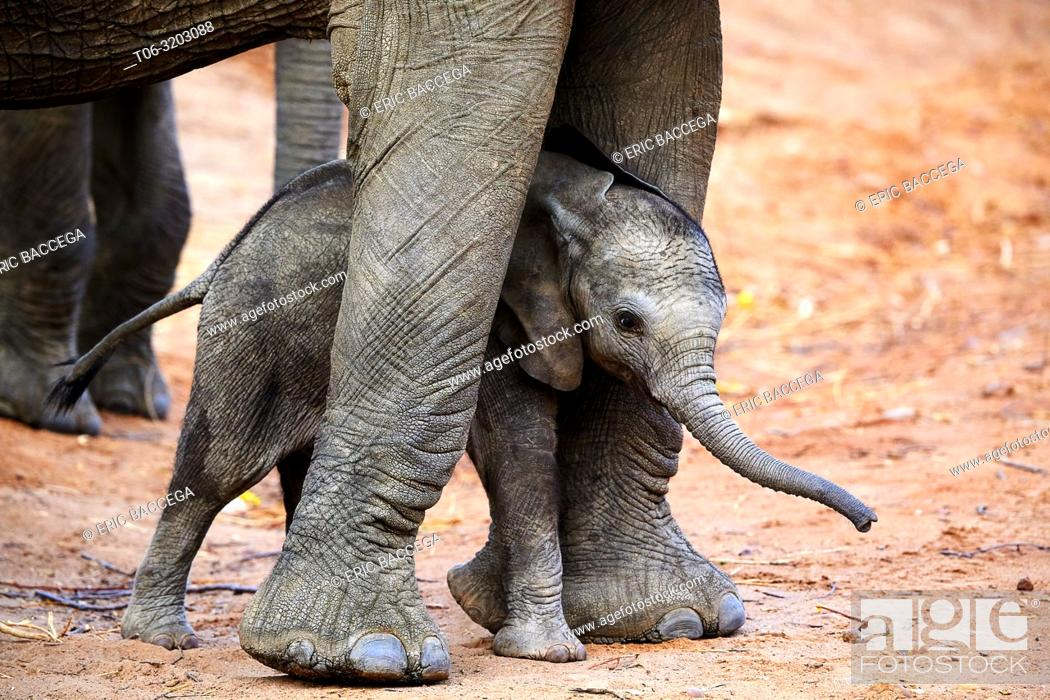 Photo de stock: African elephant (Loxodonta africana) very young calf standing between the legs of its mother for protection, South Luangwa National Park, Zambia.