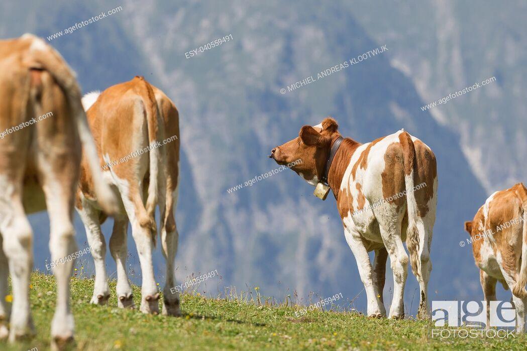Stock Photo: Milk cow in a meadow of grass, Alps, Austria.