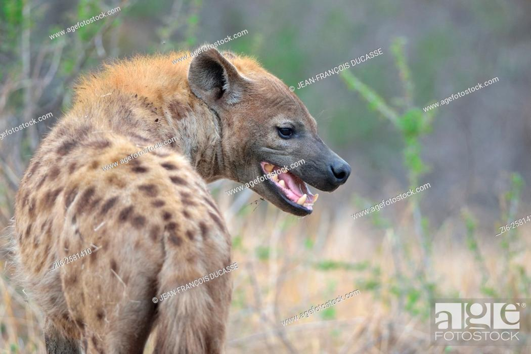 Stock Photo: Spotted Hyena (Crocuta crocuta), adult male, standing, mouth open, early in the morning, Kruger National Park, South Africa, Africa.
