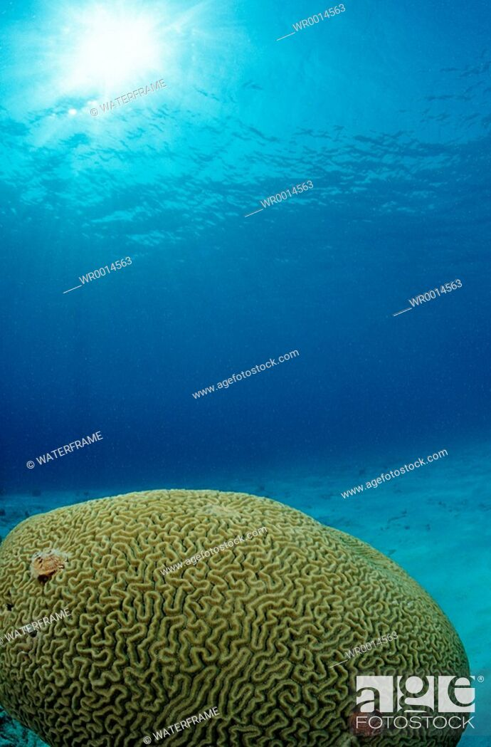 Imagen: Great Brain Coral, Madreporaria, Caribbean Sea, British Virgin Islands.