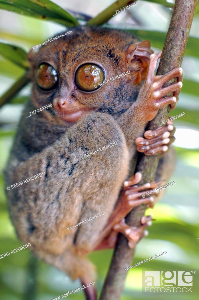 Stock Photo: Tarsier. Tarsius Syrichta. Bohol. Las Visayas. Philippines. Tarsiers are haplorrhine primates of the family Tarsiidae, which is itself the lone extant family.