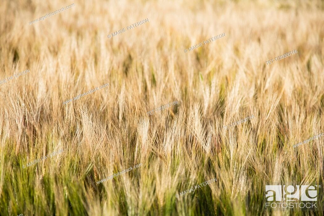 Stock Photo: View of barley in field.