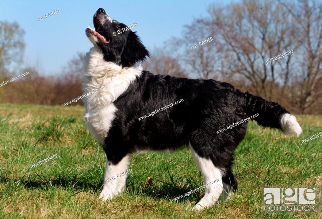 Stock Photo: Border Collie (Canis lupus f. familiaris), standing in a meadow, Germany.