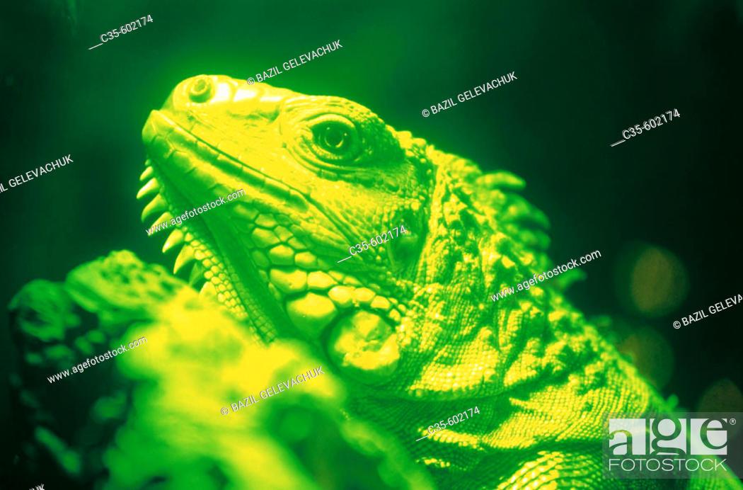 Stock Photo: Green Iguana (Iguana iguana).