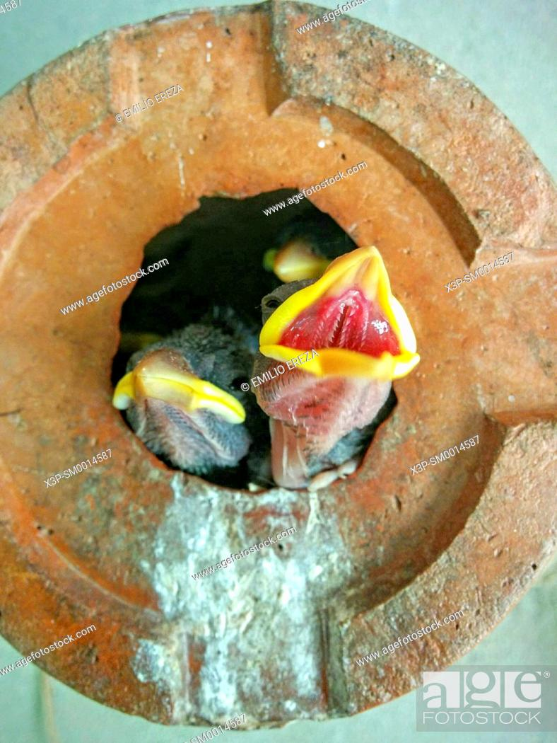 Stock Photo: Sparrow chicks in a hanging pot.