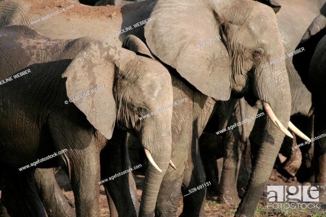 Stock Photo: Elephants at Chobe National Park. Botswana.