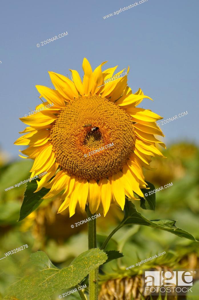 Stock Photo: Sonnenblume blühend, mit blauem Himmel,.