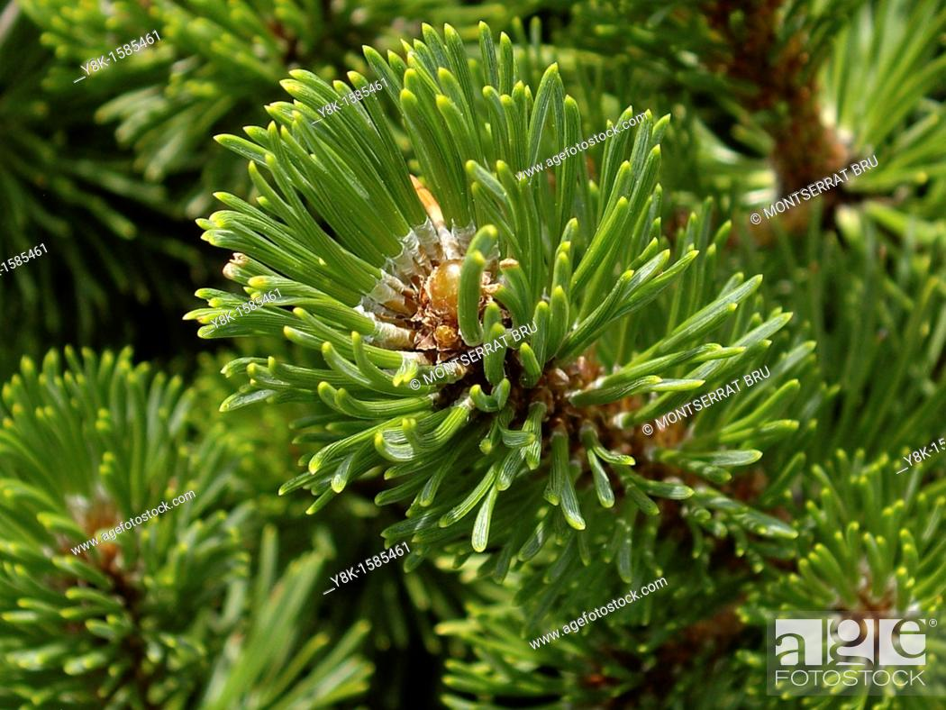 Stock Photo: Fir tree closeup.