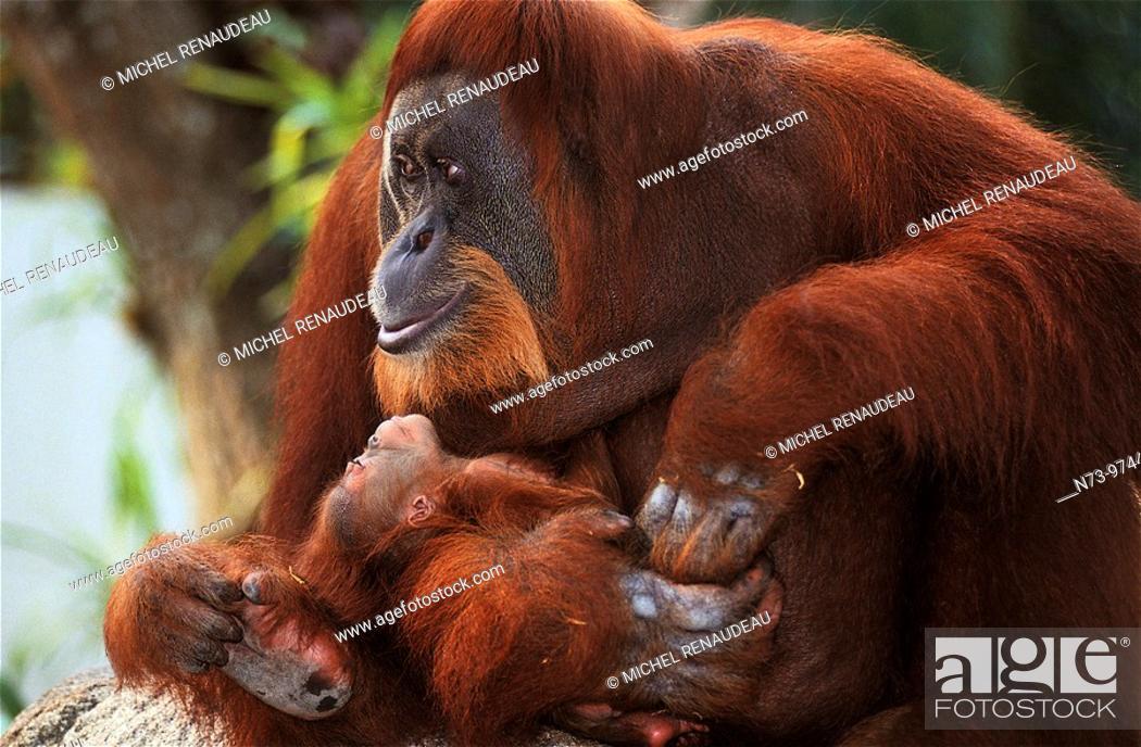 Stock Photo: Orang- outan.