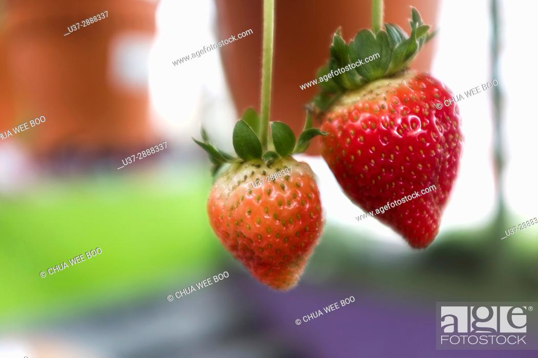 Stock Photo: Strawberries growing in flower pot, Cameron Highland, Pahang, Malaysia.
