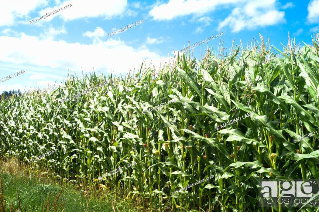 Imagen: Corn fields in summer, Galizia, Spain.