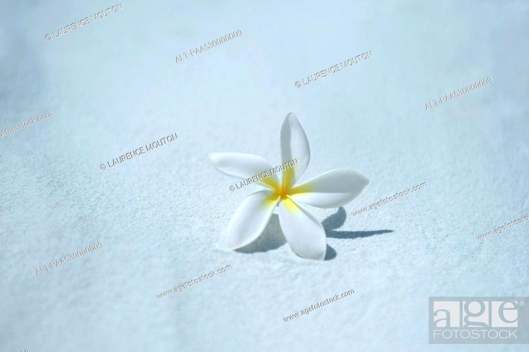 Stock Photo: Single frangipani plumeria blossom.