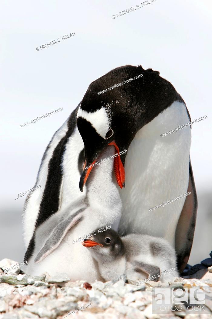 Imagen: Gentoo penguin Pygoscelis papua parent feeding downy chick on Pleneau Island, near the Antarctic Peninsula.