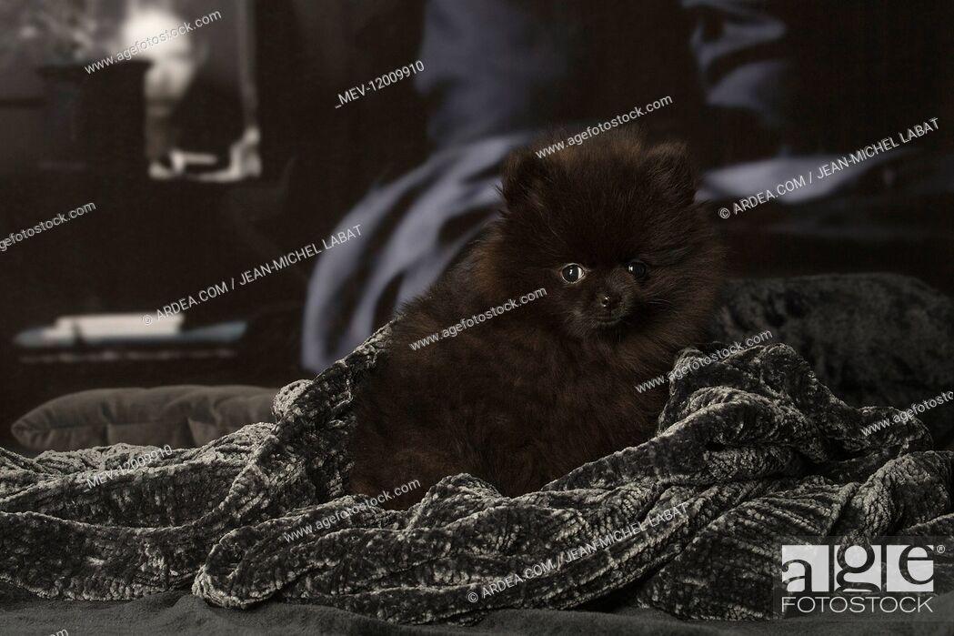 Stock Photo: Black Pomeranian puppy indoors.