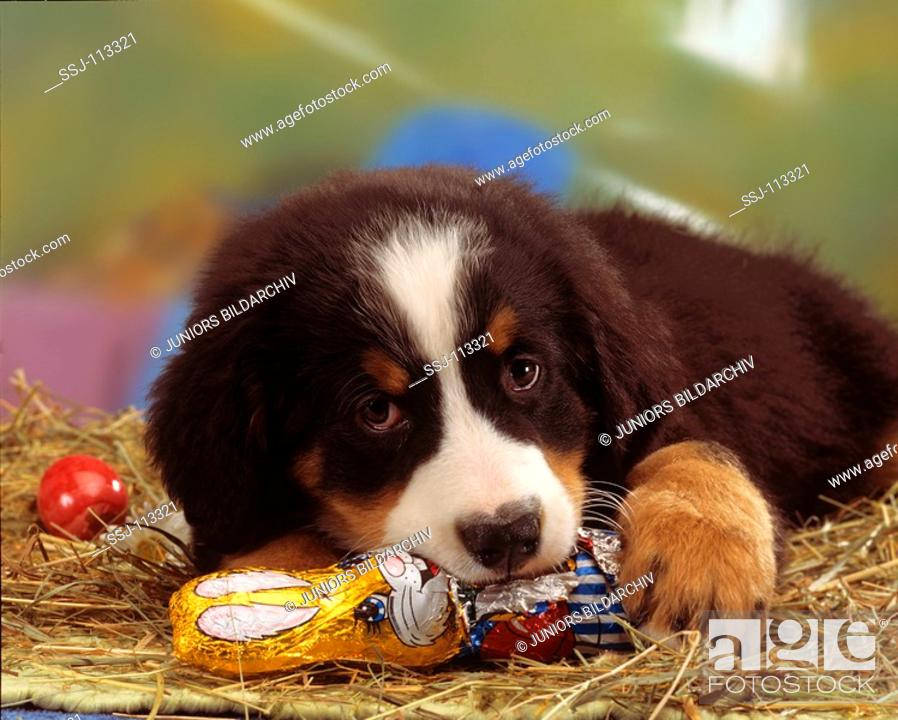 Easter Bernese Mountain Dog Puppy Eating Easter Bunny