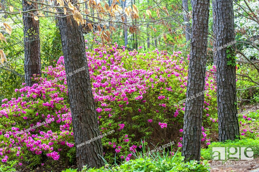 Photo de stock: Azaleas in spring bloom among pine trees.