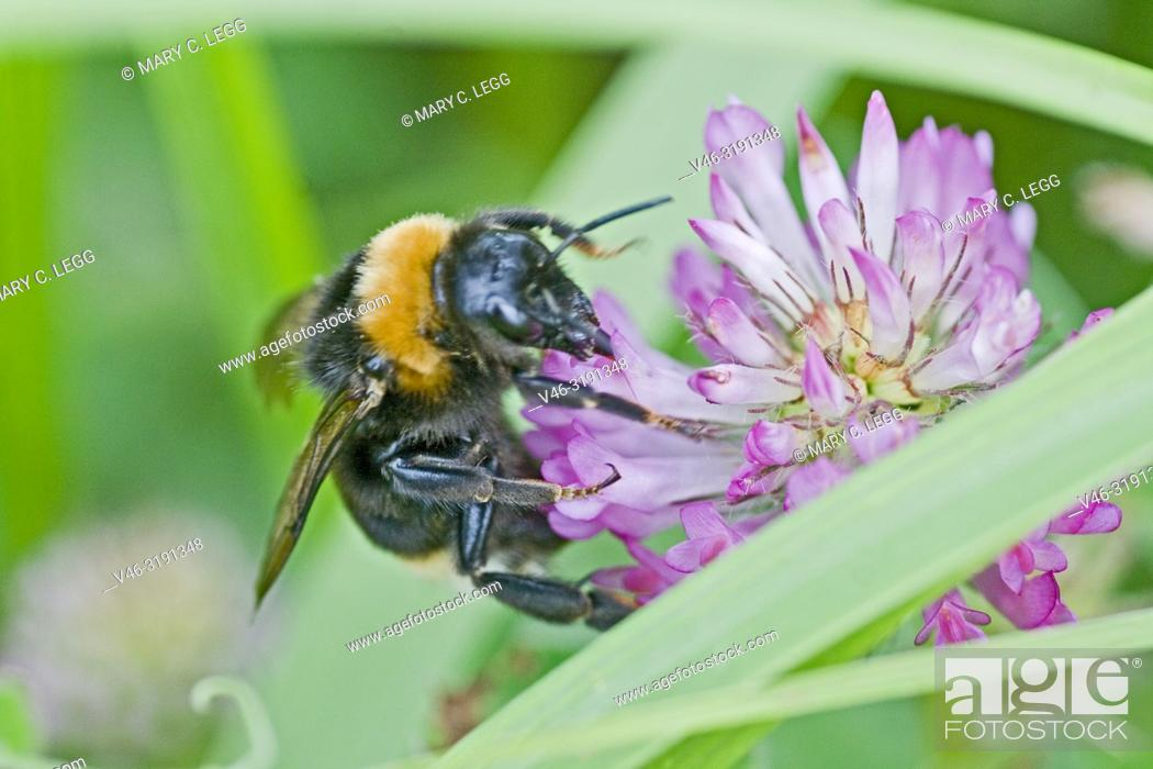 Stock Photo: Bohemian Bumblebee, Bombus bohemicus on red clover. Bohemian Bumblebee, Bombus bohemicus. Large black bumblebee with orange stripe and buff tail.