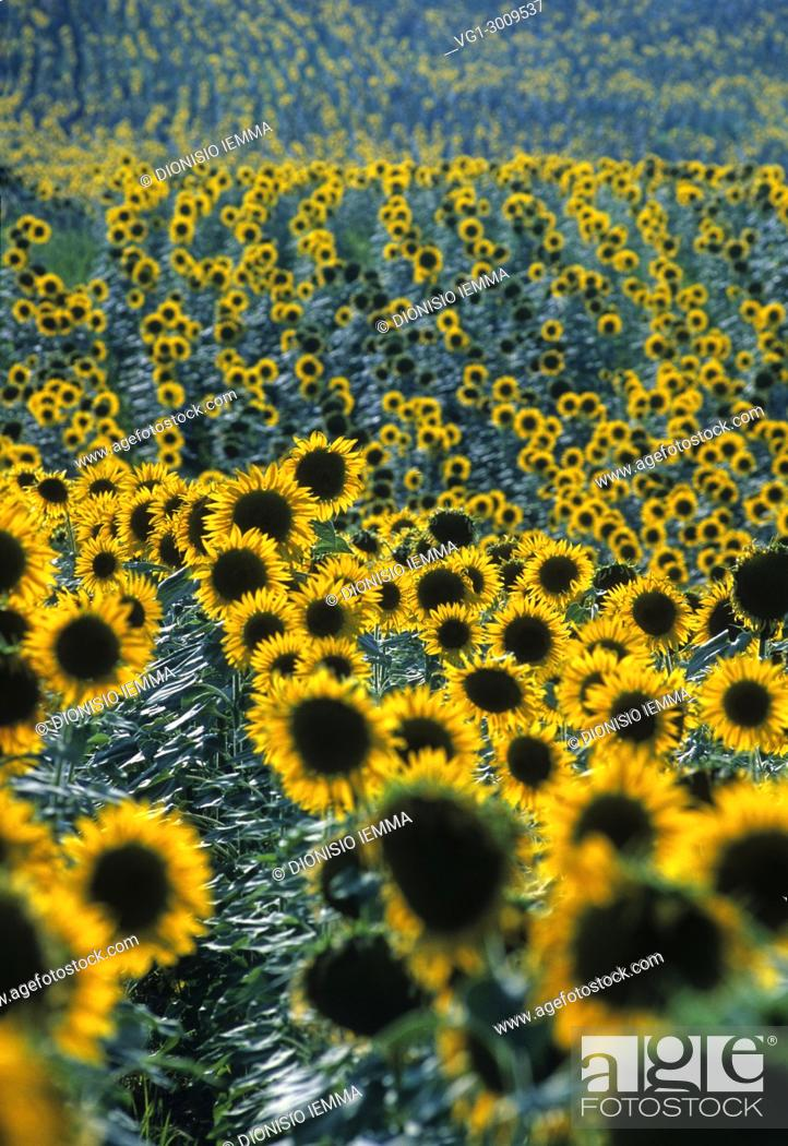Stock Photo: Sunflower field in the Marche, Italy, Europe.