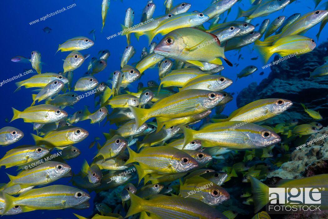 Stock Photo: Schooling Yellow-striped Goatfish (Mulloidichthys vanicolensis). Great Barrier Reef, Queensland, Australia.