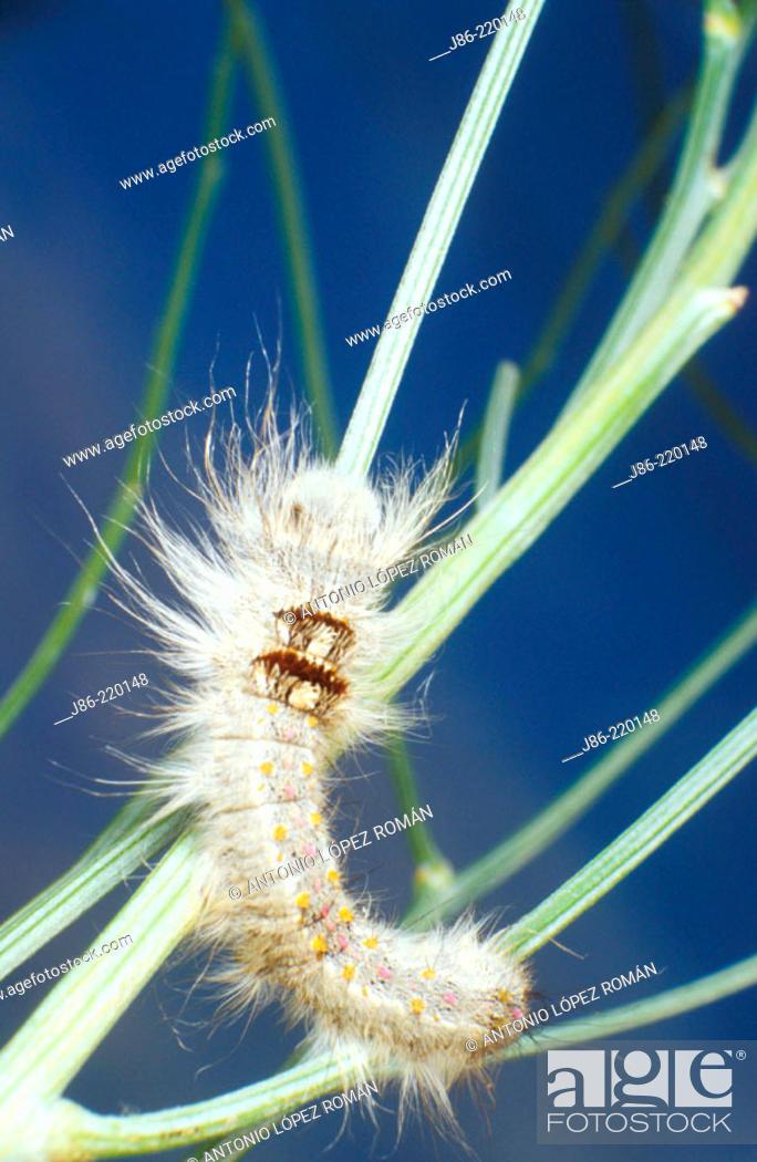 Stock Photo: Caterpillar (Streblote panda), fam. Lasiocampidae.